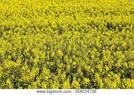 Beautiful Yellow Pleasant And Fragrant Rapeseed Flowers In The Spring Season, Beautiful Nature And P