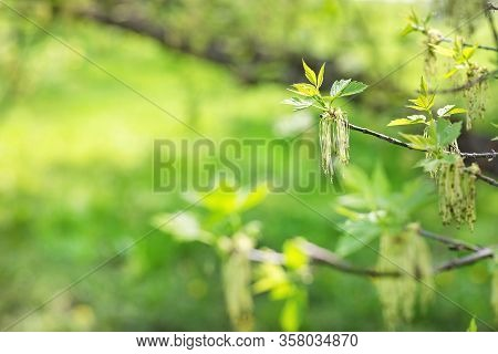 Blooming Fraxinus Or Ash Tree Branch On A Blurred Background. Spring Concept. Close Up, Selective Fo