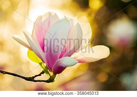 Magnolia In Sun Light. Beautiful Springtime Background