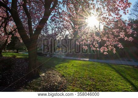 The Sun Peaking Through A Gap In A Pink And White Cherry Blossom Tree In A Suburban Neighborhood