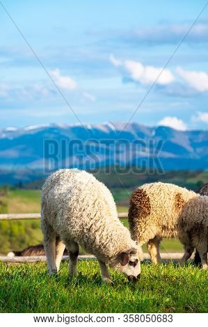 Goat And Sheep Grazing On The Alpine Meadow. Beautiful Scenery With Green Grass On The Hill, Rural V