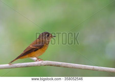 Beautiful Bird In Nature Ferruginous Flycatcher(muscicapa Ferruginea)