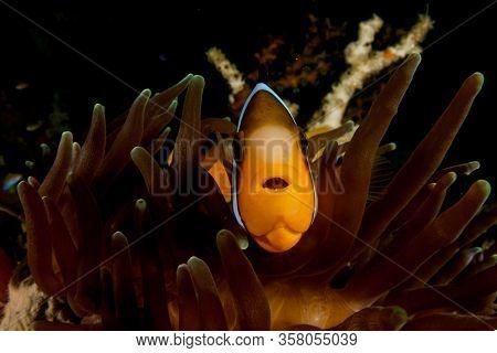 Clarke's Anemonefish (Clownfish) fish in anemone