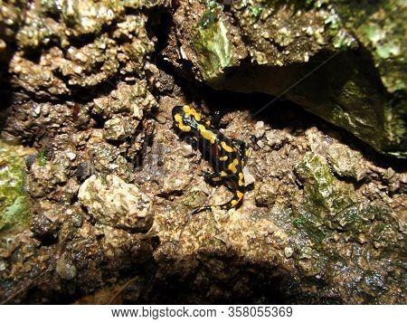 The Fire Salamander (salamandra Salamandra) Or Der Feuersalamander - Plitvice Lakes National Park, C