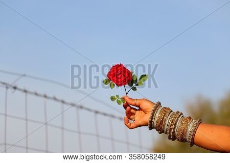 A Rose On Traditional Girl Hand With Bangles And Out Of Focus Background With Copy Space,young Femal