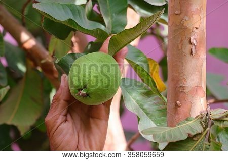 A Farmer Indict To Grow Guava On Plant With Blurred Leaves Background , Gardening Concept, Ripe Trop
