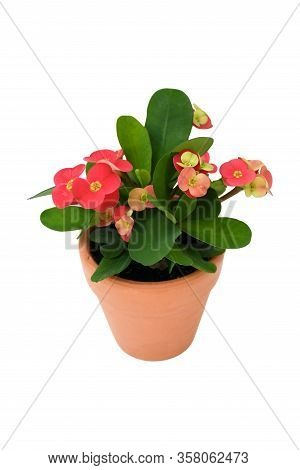 Christ Thorn Plant Or Euphorbia Milii Science Name Growing In Brown Pot On White Background Isolated