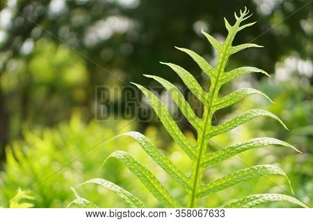 Fresh Green Pinnatisect Shape Leaf Of The Wart Fern Of Hawii Commonly Called Monarch Fern Or Musk Fe