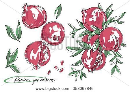 Ripe Fruit Of Pomegranate On A Branch Is Isolated On A White Background. Vector Illustration Of Pome
