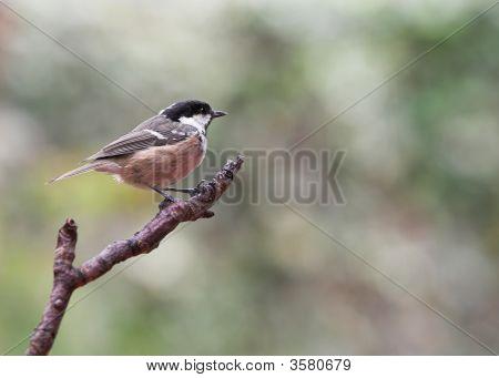 Garden Bird - Coal Tit - Parus ater poster