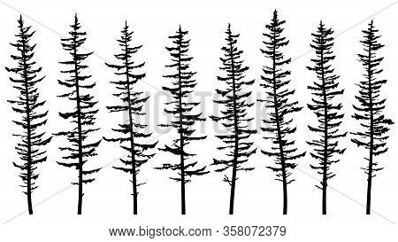 Set Of Vector Silhouettes Of Tall Spruce Tree With Broken And Sparse Branches From A Dense Forest.