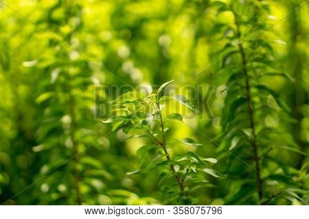 Fresh Young Bud Soft Green Leaves Of Wrightia Religiosa Variegata Plant Spreading On Blurred Backgro
