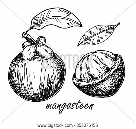Mangosteen Fruit Isolated Sketch. Hand Drawn Tropical Fruit Illustration. Vector Exotic Tropical Pur