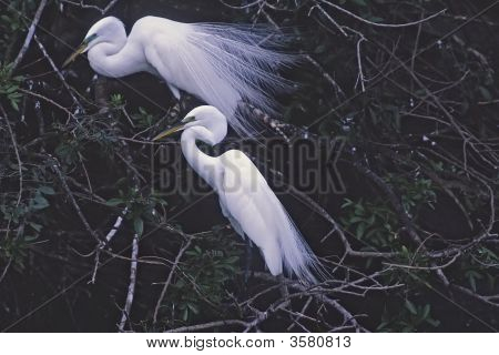 Breeding pair of great egrets. Florida.Photographed with a telephoto lens poster