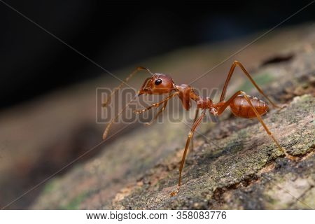 Red Ant In Nature, Macro Shot, Ants Are An Animal Working Teamwork