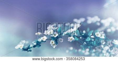 Nature Blurred Floral Blue Turquoise Background. White Spirea Wangutta Flowers With Leaves In Blue A
