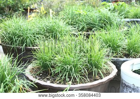 Pot Of Vegetables - Chinese Chives In Own Home Garden