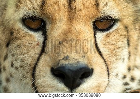 A Vertical, Colour Photo Close Up Portrait Of Cheetah, Acinonyx Jubatus, Greater Kruger Transfrontie