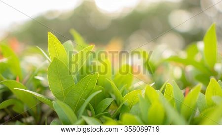 Blurry Leaf Background, Fresh Green Young Leaves And Small Buds Of Australian Brush Cherry Plant In
