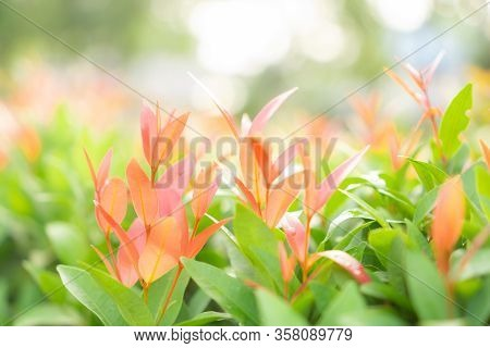 Blurry Leaf Background, Fresh Red Young Leaves And Small Buds Of Australian Brush Cherry Plant In Th