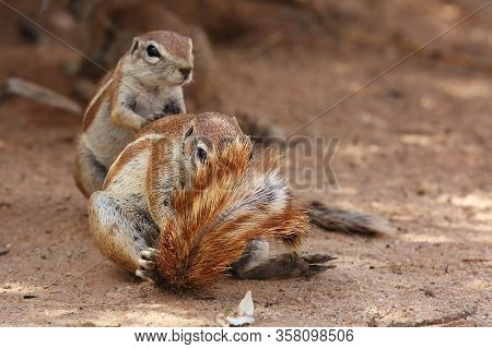 The Cape Ground Squirrel (xerus Inauris), A Young Individual Sneezes A Resting Mother.two Sguirel In