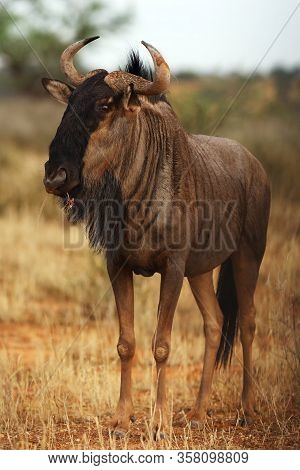The Blue Wildebeest (connochaetes Taurinus) Is Walking In The Dried Riverbed In The Desert.