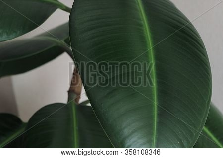Ficus Rubber-bearing With Large Leaves In The Winter Garden Home Collection. At Home, There Must Be