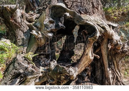 Twisted Roots And Stump Of An Ancient Burnt Out Oak Tree In Woodland In Corsica