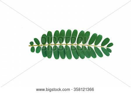 Sesbania Grandiflora Leaves Medical Herb Plant On White Background.with Clipping Paths.