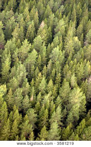 Green Silver Birch Trees