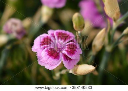 Carnation Pink Kisses - Latin Name - Dianthus Pink Kisses