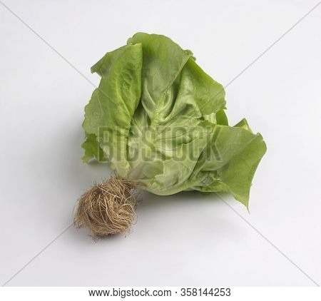 Green Butterhead Lettuce With Root Isolated On White Background