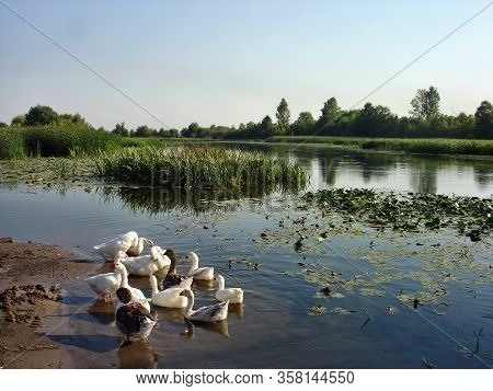 In The Early Summer Morning, Geese Bathe In The River Near Its Bank. The River Banks Are Overgrown W