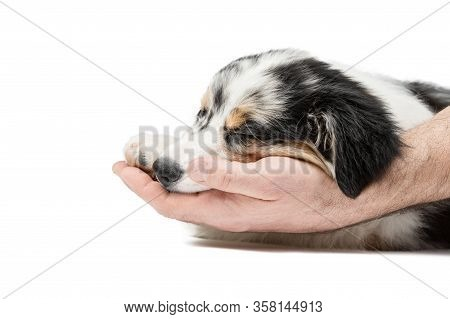 Mens Hands Gently And Caringly Touch The Sleeping Puppy Of The Australian Aussie Shepherd. Backgroun
