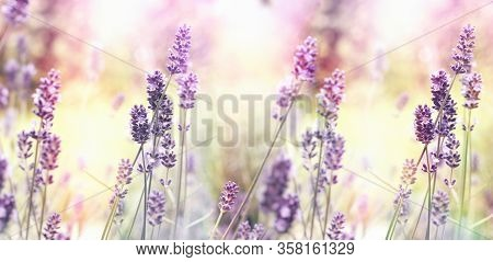 Selective And Soft Focus On Lavender Flower, Flowering Lavender Flowers In Flower Garden