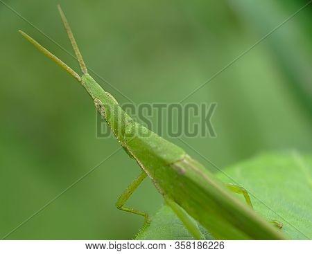 Rice Grasshoppers (atractomorpha Lata Or Pyrgomorphidae) - Close Up Detail Of Green Grasshopper, Atr