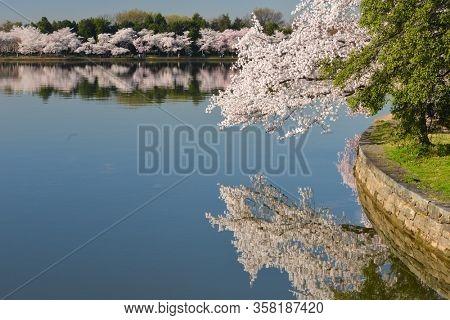 Cherry Blossom Festival in Washington DC - Cherry trees around tidal basin during the festival - Washington DC, United States of America