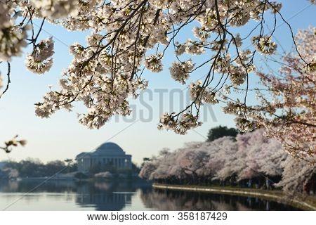 Cherry Blossom Festival in Washington DC - Cherry trees and Jefferson Memorial - Washington DC, United States of America