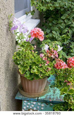 Geranium Plant In A Flower Pot