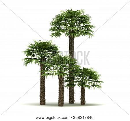 Chamaerops Palm Trees (isolated On White Background)