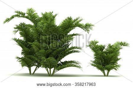 Areca Palm Trees (isolated On White Background)