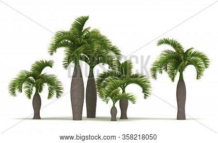 Bottle Palm Trees (isolated On White Background)