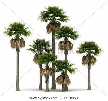 Sabal Palm Trees (isolated On White Background)