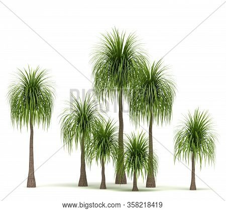 Ponytail Palm Trees (isolated On White Background)