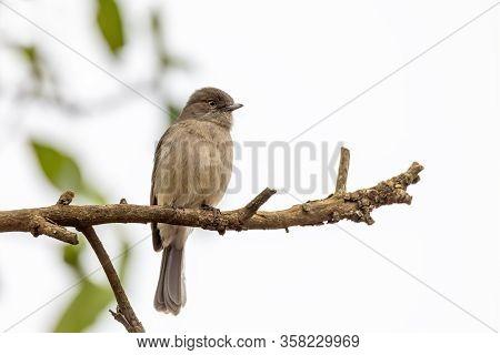 Bird Abyssinian Slaty Flycatcher, Melaenornis Chocolatinus, Perched On Tree Branch, Gondar, Endemic