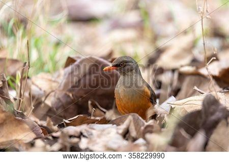 Abyssinian Thrush (turdus Abyssinicus) Is A Passerine Bird In The Family Turdidae. Ethiopia, Gondar,