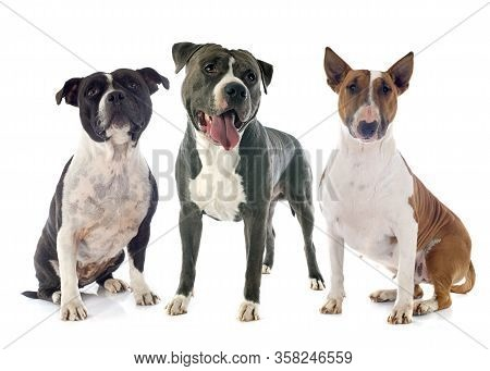 Amstaff, Bull Terrier And Staffie In Front Of White Background