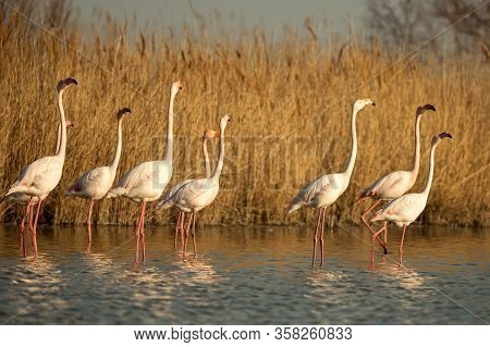 Flock Of Greater Flamingos (phoenicopterus Roseus), Camargue, France, Pink Birds, Wildlife Scene Fro