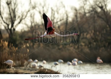 Flying Greater Flamingo (phoenicopterus Roseus),camargue, France, Pink Bird On The Blue Sky At Sunri