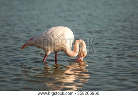 Greater Flamingos (phoenicopterus Roseus) Standing In Water, Camargue, France, Pink Birds, Wildlife